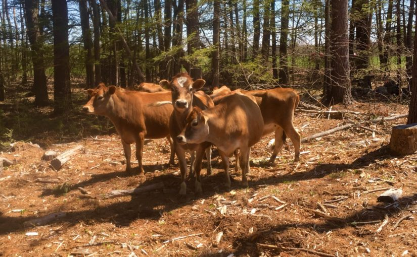 Can you raise livestock in the woods? UNH is experimenting