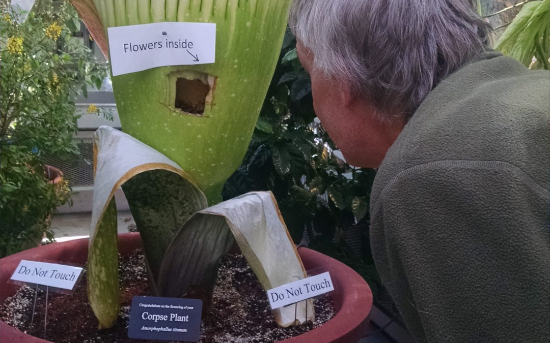 My visit to the disappointingly-not-too-stinky 'corpse flower'