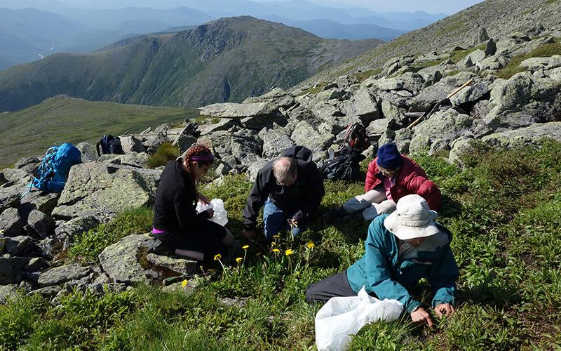 An invasive species on Mount Washington: Dandelions. (Dandelions??)
