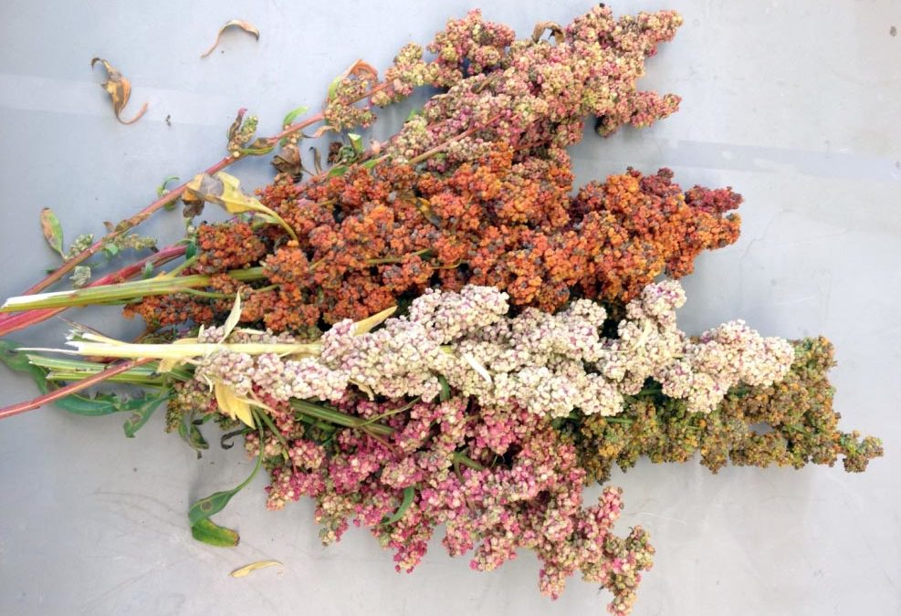 Can cross-breeding, using a boost from genetic information, give New Hampshire its own quinoa?