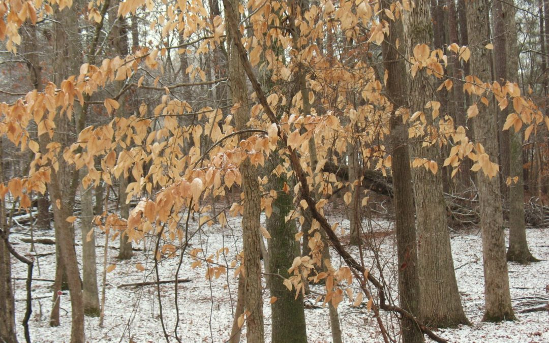 Why do some deciduous trees hold onto their leaves all winter?