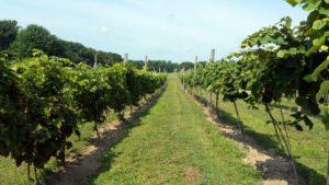 UNH photo - table grape vineyard