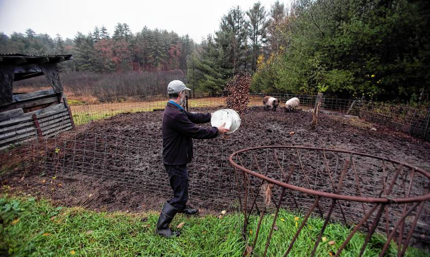 The local food movement can't get more local than eating acorns from your woods – for pigs, however, not us