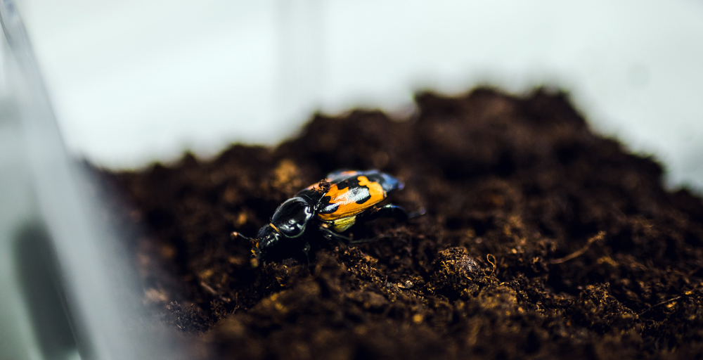 If food is limited, beetles limit the number of offspring