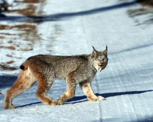 A Canada Lynx crosses a snow-covered road. (Mike McNally)