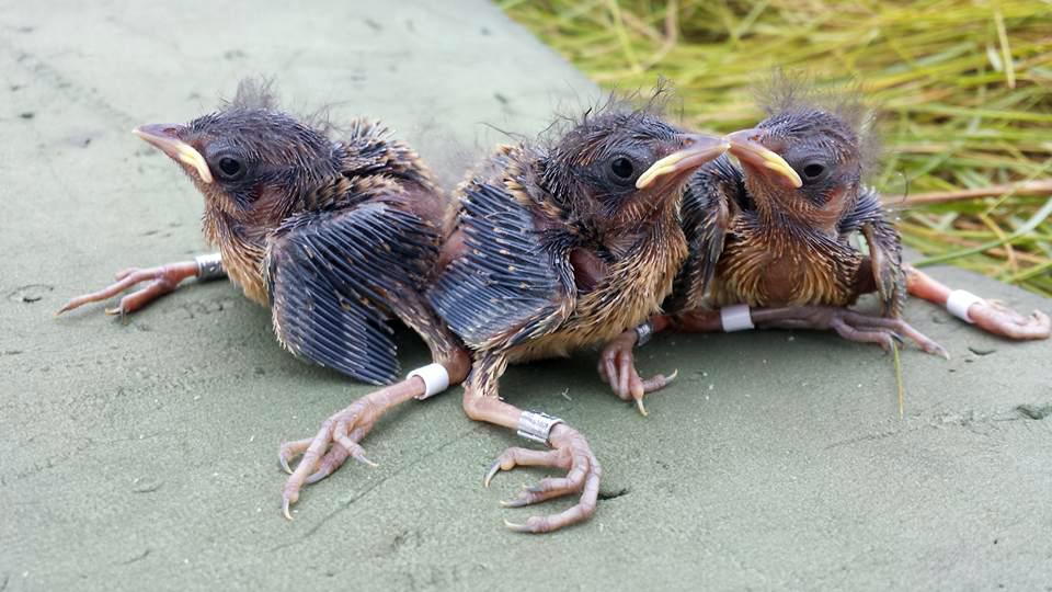 Unusually, saltmarsh sparrows don't tweak the gender of their chicks