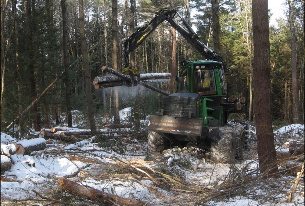 In warmer climates, a native fungus becomes a threat to white pine