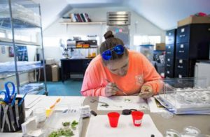 Rebbeca Segelhurst, a biology aide at the New Hampshire Fish and Game research lab on the National Guard grounds in Concord, checks for eggs and larvae from captive frosted elfin butterflies on May 21, 2018. Geoff Forester, Monitor staff