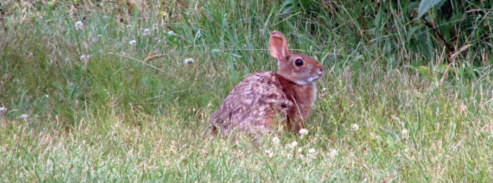 How do you count cottontail rabbits when it's hard to even find them?