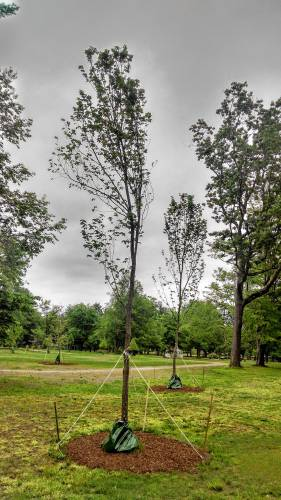 NH group has been selling disease-resistant elms for three decades