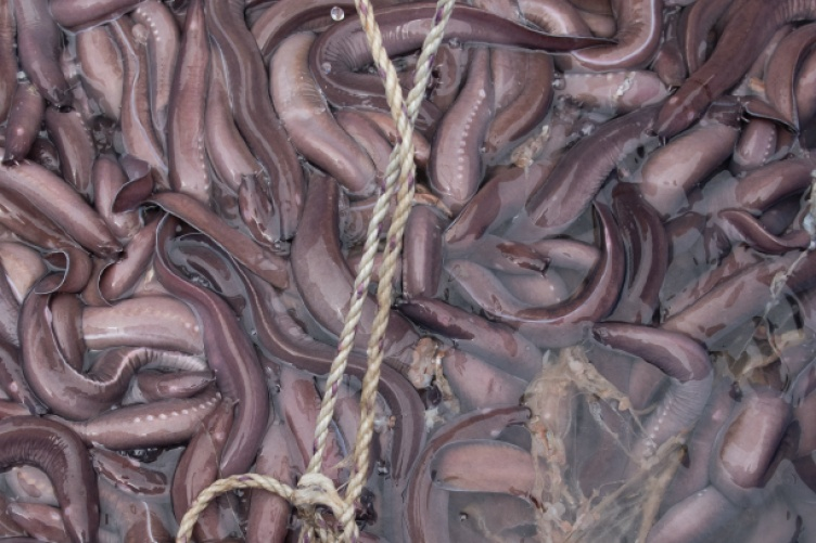 'Hagfish slime, which has been described as the grossest super-material in existence'