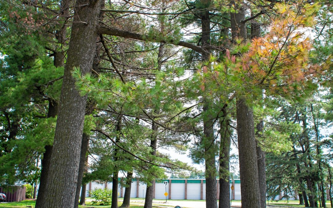 Urban white pines are particularly vulnerable to a new, poorly understood disease