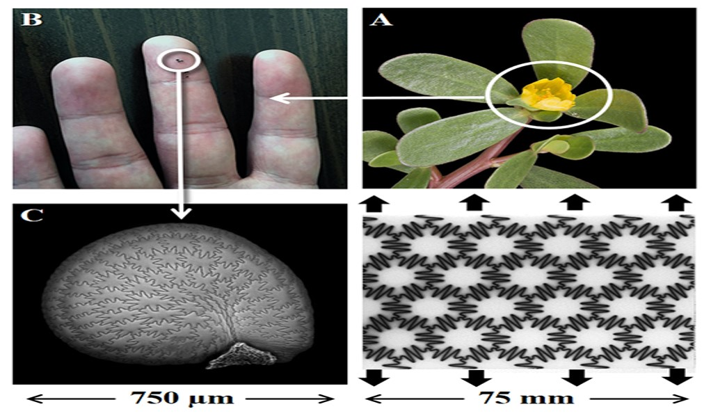UNH: Seed coats could lead to tougher flexible materials