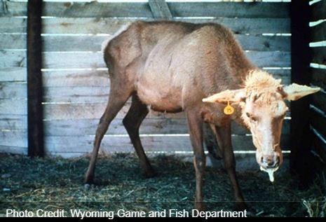 "Uh-oh – ""mad cow disease"" of deer has shown up in Quebec"