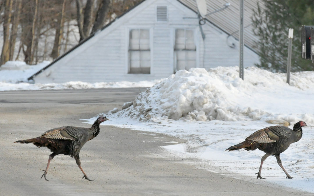 New Hampshire wants us to play spot the turkey online