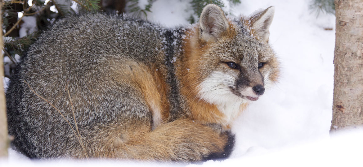 The new strain of canine distemper virus was found in two gray foxes similar to these foxes. Credit: Vermont Fish and Wildlife Department.