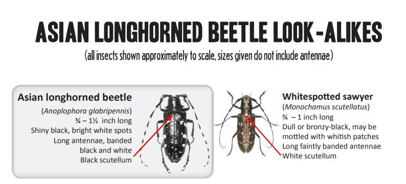 Where will the tree-killing beetle go? Ask an electrical engineer