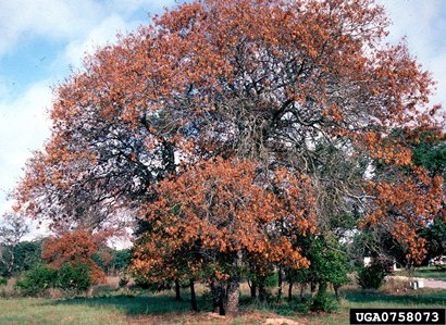 Oh, boy, another tree-killing disease is coming