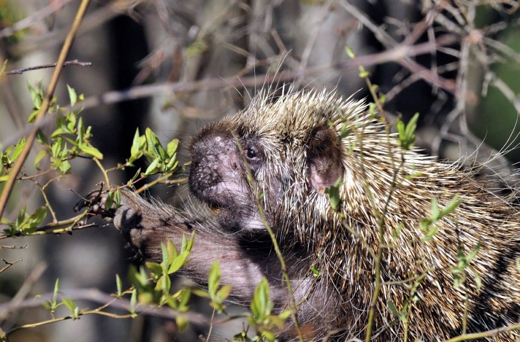 Fungal disease found in porcupines, adding to list of species hit by fungus outbreaks