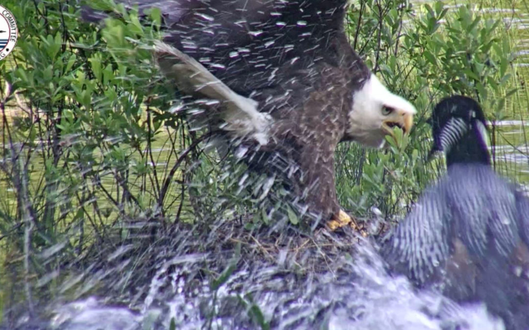 Bald eagles attack loons, but that's not why loons are struggling