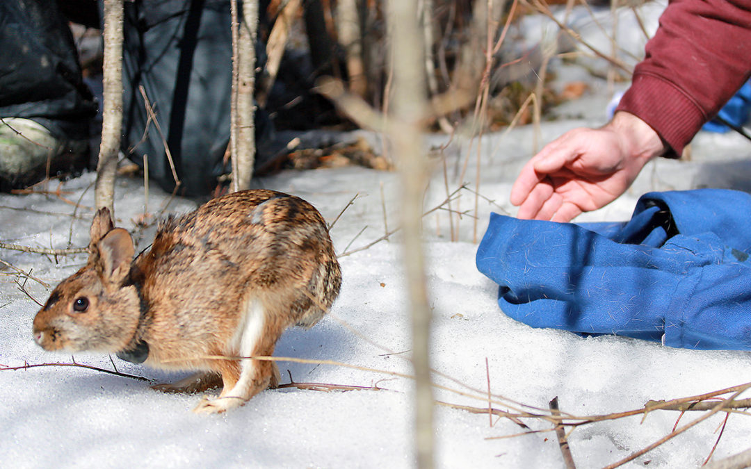 Released cottontails thrived, but it takes lots of releases