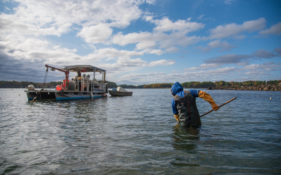 Restoring oysters is part culinary economics and part science project