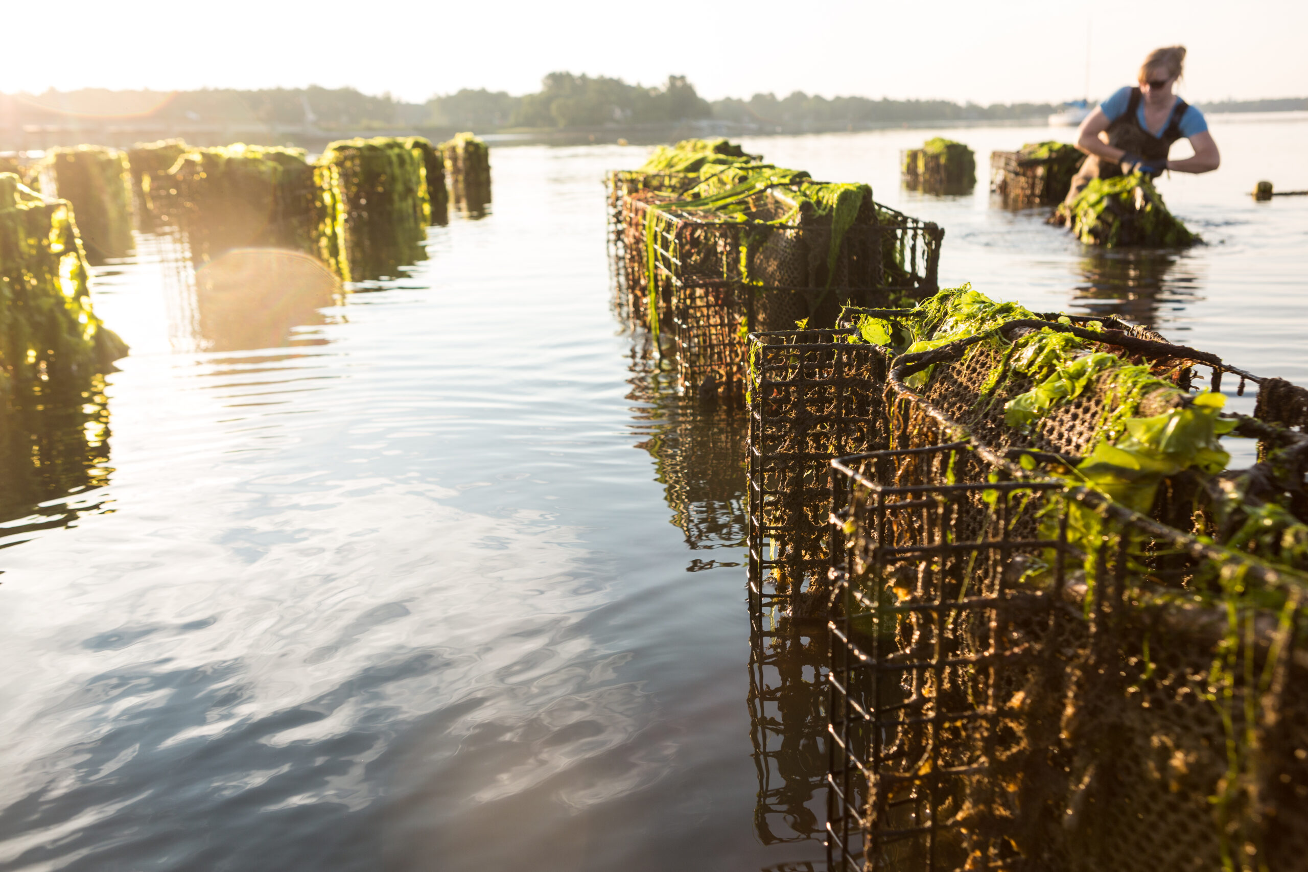 Growing oysters is as good for the Great Bay as it is for your dinner